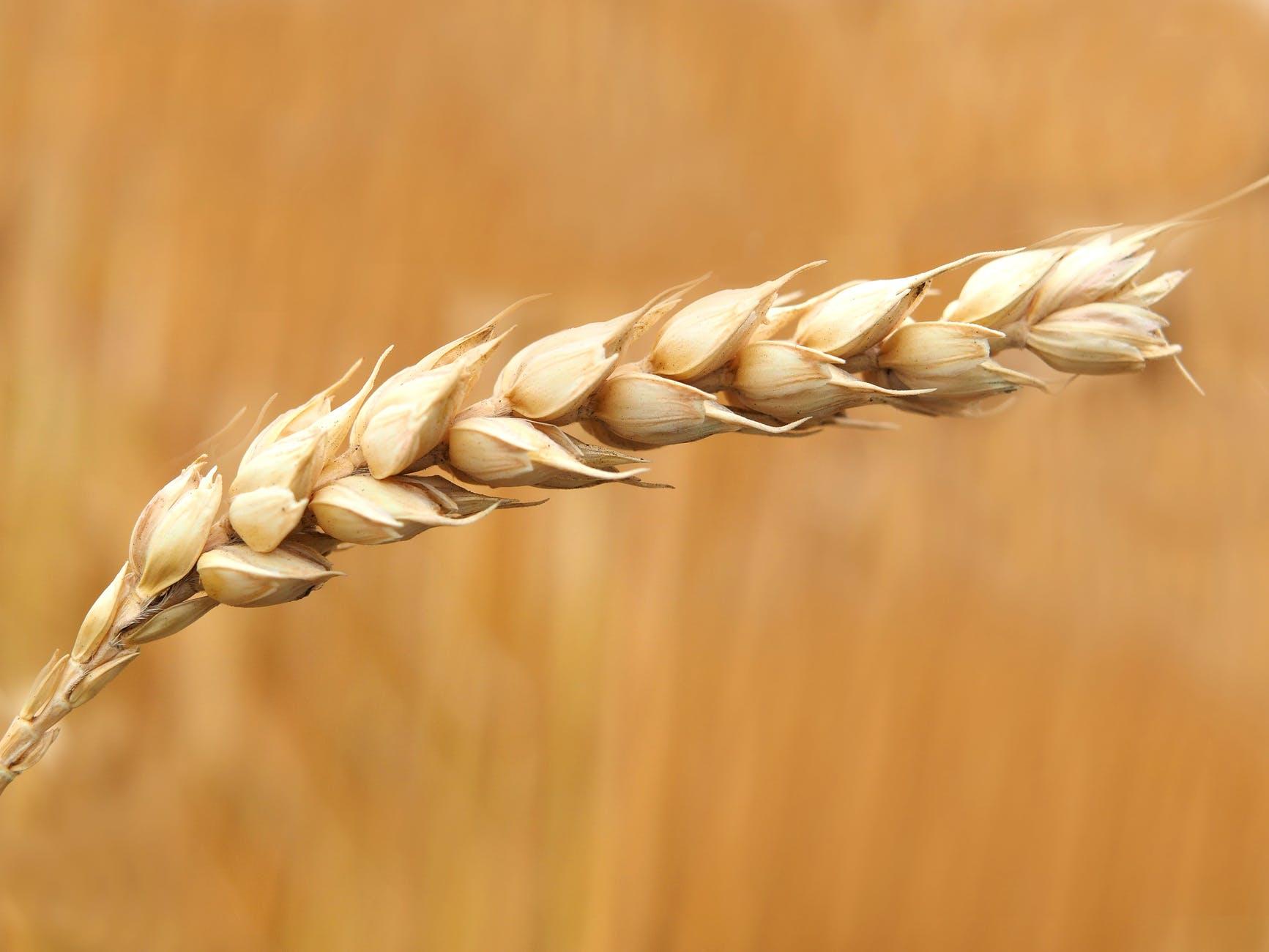 wheat-wheat-field-cereals-field-158603